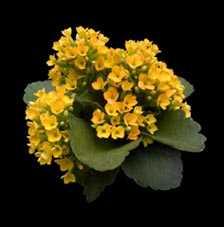 Plantas f ciles de cuidar el kalanchoe jardin decora - Plantas de exterior faciles de cuidar ...