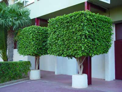 Ficus rbol que puede adoptar diversas formas decorativas for Tipos de arboles decorativos