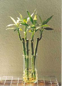 bambusuerte.jpg