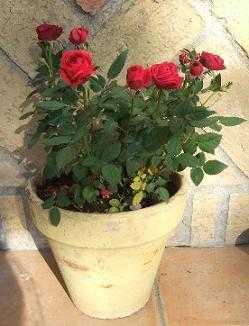 Consejos para decorar con rosas jardin decora ilumina for Varias plantas en una maceta